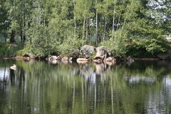 Marvellous lake_2. Small birch trees mirrored on water-surface Stock Images