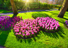 Marvellous pink hyacinth flowers in the Keukenhof park. Royalty Free Stock Photos