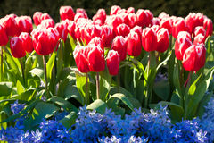 Marvellous red tulips and blue hyacinth in the Keukenhof park Royalty Free Stock Image