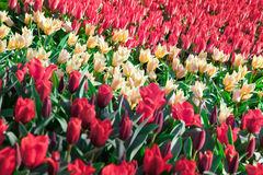 Marvellous red and white tulips in the Keukenhof park Royalty Free Stock Photography