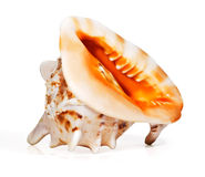 Marvellous sea shell isolated Stock Image