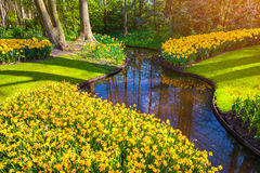 Marvellous yellow narcissus in the Keukenhof park Stock Image