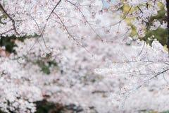 Cherry blossom sakura of Tokyo in Japan. Marvelous and beautifull mood of the cherry blossom sakuras of Tokyo in Japan stock image