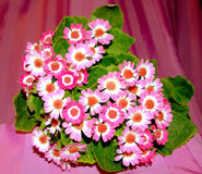 Pink cineraria flowers bunch Royalty Free Stock Images
