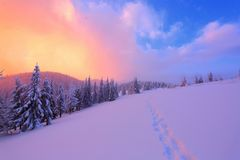 The marvelous landscape is opened to sunset and rose sky from the lawn full of nice snowy trees. Royalty Free Stock Photo