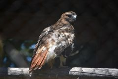 Marvelous Large Red Tail Hawk Ready for Anything. Marvelous Red Tail Hawk Looking Intimidating to Others Royalty Free Stock Images