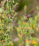Marvelous Spatuletail in flight Royalty Free Stock Photography