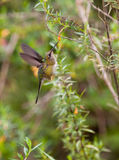 Marvelous Spatuletail Hummingbird Stock Images