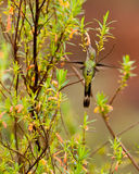 Marvelous Spatuletail Hummingbird Stock Photos