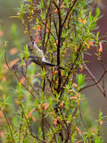 Marvelous Spatuletail Hummingbird Royalty Free Stock Image