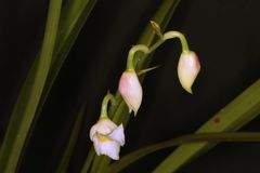 Marvelous set of three orchid flower buds Royalty Free Stock Photography