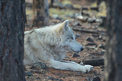 Marvelous White Wolf Resting In The Wild. Marvelous White Wolf Resting In The woods Stock Photo