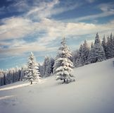 Marvelous winter landscape in Carpathian mountains with snow cow Royalty Free Stock Photos