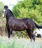 Marwadi koń fotografia stock