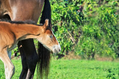 Marwari chestnut colt with mom Stock Photo