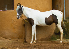 Marwari horse Stock Images
