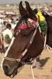 Marwari Pferd Stockfotos