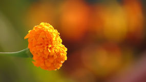 Marygold Flower bokeh. Beautiful flower bokeh blurry background single marygold Stock Image
