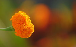 Marygold Flower bokeh. Beautiful flower bokeh white background single marygold Royalty Free Stock Photos