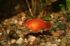 Marygold-Platy (maculatus de Xipophorus) Fotos de Stock Royalty Free