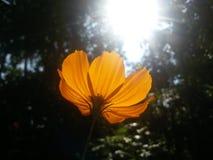 Maryjny kwiat w ranku połysku Obraz Royalty Free