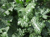 Maryjny oset w zielarskim ogródzie Obraz Royalty Free