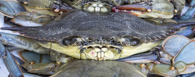 Maryland blue Crab Royalty Free Stock Images