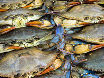 Maryland Blue Crabs. A pile of just caught Maryland Blue Crabs ready to be cooked and eaten Stock Photo