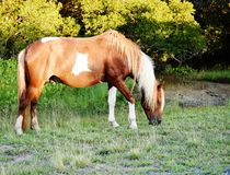 Maryland state usa assateague  park wild horse. The wild  horse of Assateague national park  in Maryland state of USA,  it's not so peaceful and weak , as Royalty Free Stock Photo