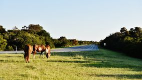 Maryland state usa  dangerous wild horses nearby road Stock Photos