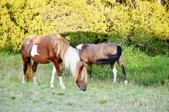 Maryland state usa wild horses sinepuxent bay Stock Images