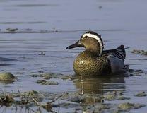 Marzaiola duck .Male royalty free stock photos