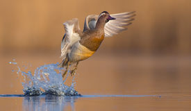 Marzaiola - querquedula di anas - maschio Fotografie Stock Libere da Diritti