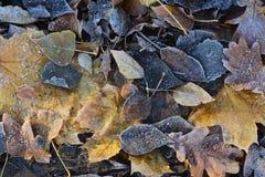 Marznący spadać topola, dąb i liście klonowi, Jesień mrozy w kontekście niebieskie chmury odpowiadają trawy zielone niebo białe w Zdjęcia Royalty Free