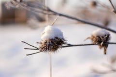 Marznący wysuszeni kwiaty pod śniegiem Obraz Royalty Free