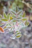 Marznięcie roślina. Zdjęcia Stock