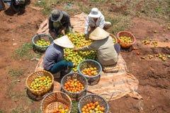 10, marzo 2016 DALAT - agricoltori che raccolgono pomodoro in Dalat- Lamdong, Vietnam Fotografia Stock Libera da Diritti