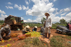 10, marzo 2016 DALAT - agricoltori che raccolgono pomodoro in Dalat- Lamdong, Vietnam Immagini Stock