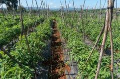 10, marzo 2016 DALAT - fila del pomodoro in Dalat- Lamdong, Vietnam Immagini Stock