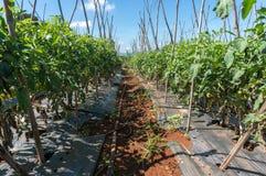 10, marzo 2016 DALAT - lighton del blate sul pomodoro in Dalat- Lamdong, Vietnam Immagini Stock