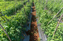 10, marzo de 2016 DALAT - fila del tomate en Dalat- Lamdong, Vietnam Imagen de archivo