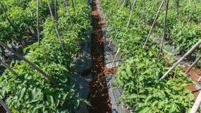 10, marzo de 2016 DALAT - fila del tomate en Dalat- Lamdong, Vietnam Imagenes de archivo