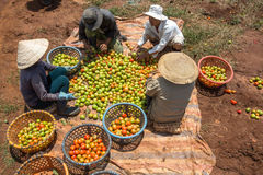 10, marzo de 2016 DALAT - granjeros que cosechan el tomate en Dalat- Lamdong, Vietnam Fotografía de archivo