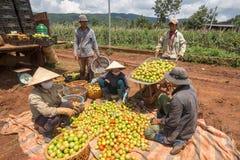 10, marzo de 2016 DALAT - granjeros que cosechan el tomate en Dalat- Lamdong, Vietnam Imagen de archivo libre de regalías