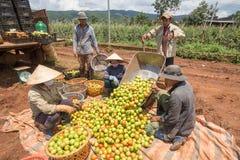 10, marzo de 2016 DALAT - granjeros que cosechan el tomate en Dalat- Lamdong, Vietnam Imagen de archivo