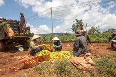 10, marzo de 2016 DALAT - granjeros que cosechan el tomate en Dalat- Lamdong, Vietnam Imagenes de archivo