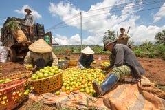 10, marzo de 2016 DALAT - granjeros que cosechan el tomate en Dalat- Lamdong, Vietnam Foto de archivo libre de regalías