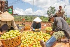 10, marzo de 2016 DALAT - granjeros que cosechan el tomate en Dalat- Lamdong, Vietnam Fotografía de archivo libre de regalías
