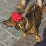 Marzo de los perros basset 2016 Imagen de archivo
