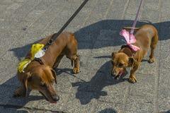 Marzo de los perros basset 2016 Fotografía de archivo